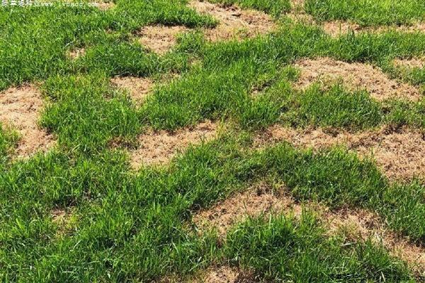 草坪腐霉枯萎病的症状及防治方法