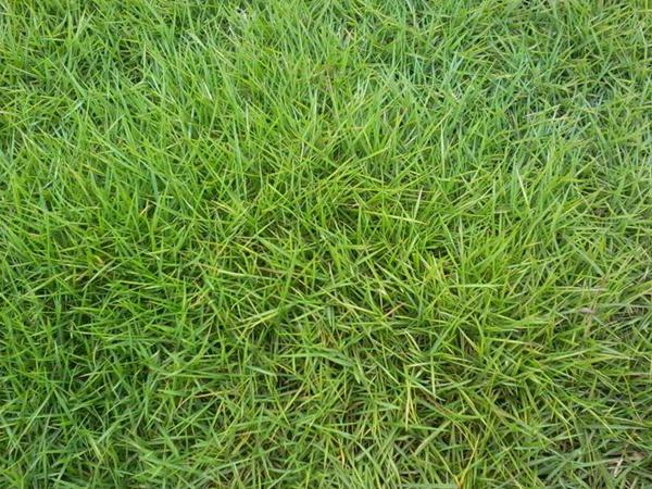 台湾草草坪的最佳种植时间养护管理