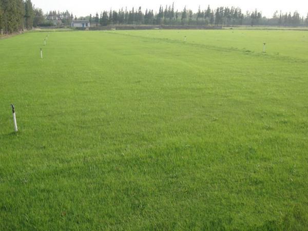 四季青草坪种子什么时候播种?