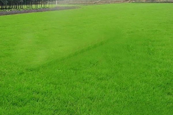 高羊茅草老化的原因