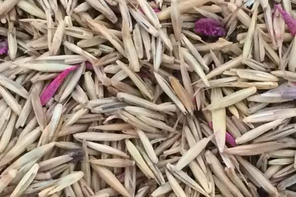 冰草种子多少钱一斤?
