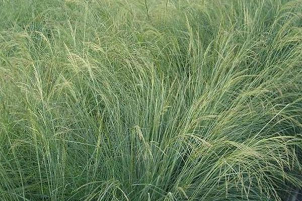 弯叶画眉草种子