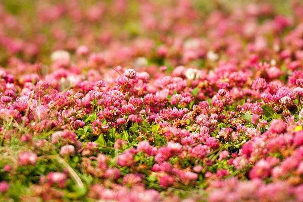 红三叶草的主要作用