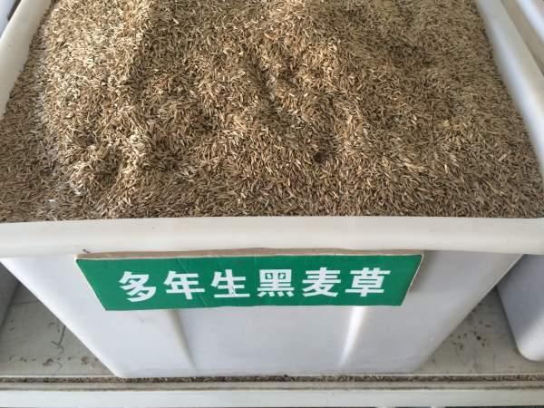 多年生黑麦草应该什么时候播种?