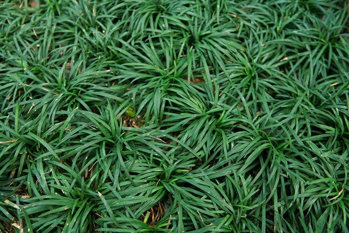 玉龙草种植案例