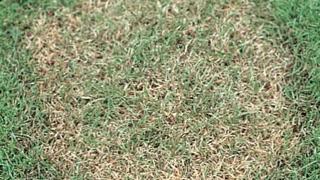 如何识别草坪的常见病害