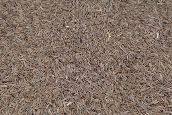高羊茅种子多少钱一斤