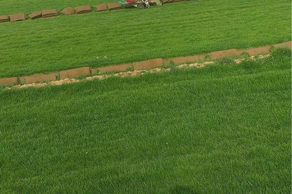 早熟禾草坪优缺点